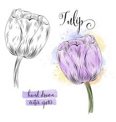 botanical art watercolor tulip flower vector image