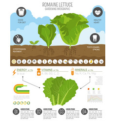 Romanie lettuce beneficial features graphic vector