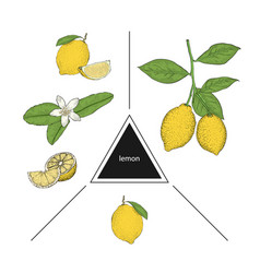Set of fruits lemons on a branch lemon flower and vector