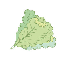fresh lettuce natural vegetable nutrition vector image