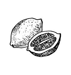 Ink drawing lemon vector