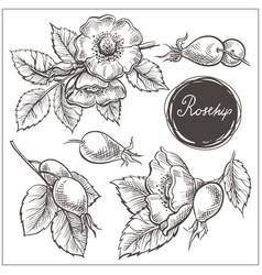 canine hip dog rose hand drawn botanical sketch vector image