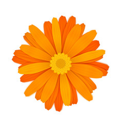 Bright colourful orange gerbera flower on white vector