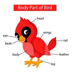 Diagram showing body part red cardinal bird vector