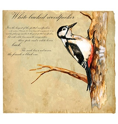 Hand painted bird woodpecker vector