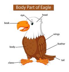 Diagram showing body part eagle vector