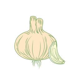 Fresh garlic natural vegetable nutrition vector