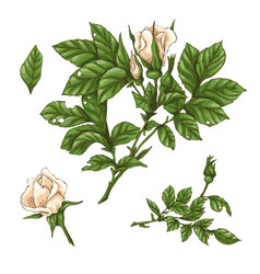 set of red rose flower bud and leaves isolated vector image