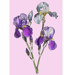 Sketch of a Branch of Blooming Irises vector image