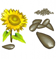 seed of the sunflower vector image vector image