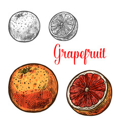 Grapefruit sketch of ripe tropical citrus fruit vector