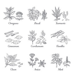 hand drawn spices herbs and vegetables sketch vector image