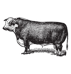 Hereford bull vintage vector