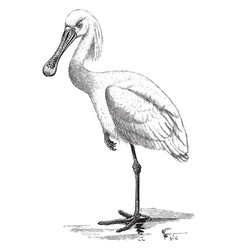 spoonbill standing on one leg vintage vector image