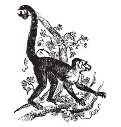Capuchin sapajou vintage vector