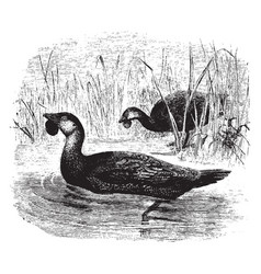 two musk ducks swimming between the tall grass in vector image