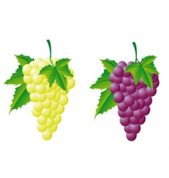 grapes white and red vector image