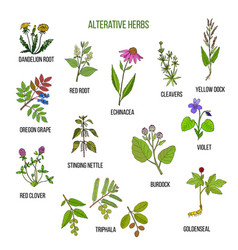 alterative herbs hand drawn set of medicinal vector image