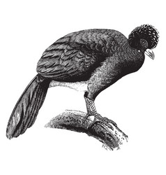 Crested curassow vintage vector