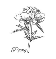cute peony flower in line art style isolated on vector image