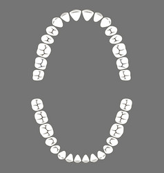 chewing surface of human teeth upper and lower jaw vector image vector image