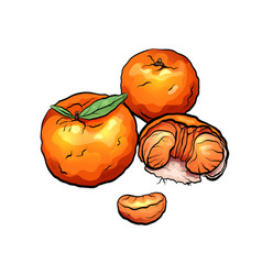 color cartoon of mandarin and citrus vector image