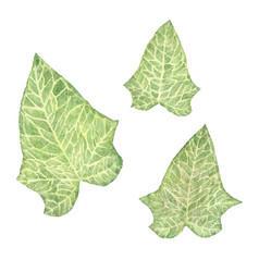 Set hand drawn watercolor ivy leaves isolated vector