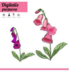 digitalis flower isolate on white vector image vector image
