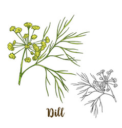 full color realistic sketch of dill vector image