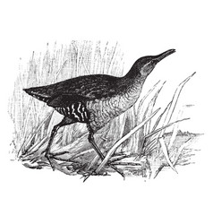 Virginia rail vintage vector