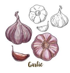 Full color realistic sketch of garlic vector