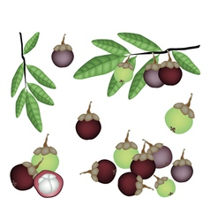 Set of Fresh Purple and Green Mangosteens vector image