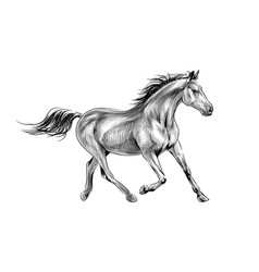 horse run gallop on a white background hand drawn vector image