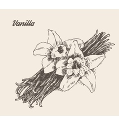 Vanilla pods and flower vintage engraved vector