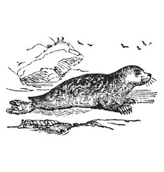Marbled seal vintage vector
