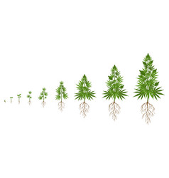 Hemp plant growth cycle cannabis cultivation vector