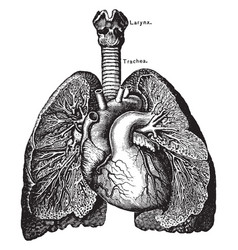 The heart and lungs vintage vector