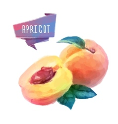 Apricot hand drawn watercolor on a white vector image