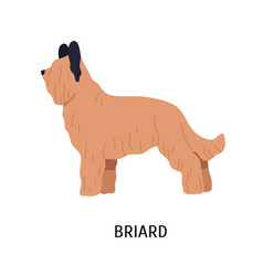 briard or berger de brie adorable large herding vector image