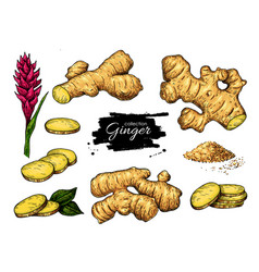 Ginger set hand drawn root sliced pieces vector