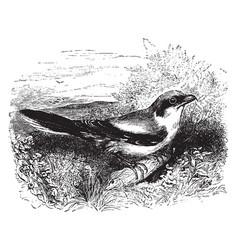 great butcher bird vintage vector image