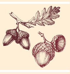 Acorn isolated hand drawing vector