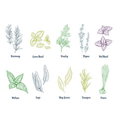 set of colored hand drawn herbs and spices vector image