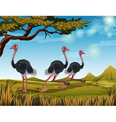 Three ostriches running in the field vector