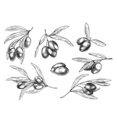 isolated sketches of olive oil tree branches vector image vector image