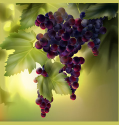 Grapes with leaves vector