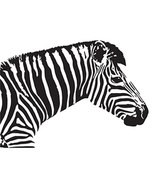 Image of an zebra head vector
