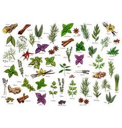 spices herbs seasonings herbal ingredients vector image