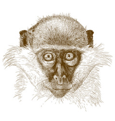 Engraving of green monkey muzzle vector