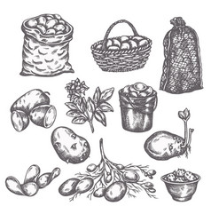 Hand drawn sketch potato vegetable vintage vector
